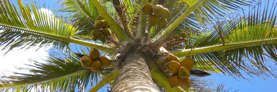 kokosnottrad